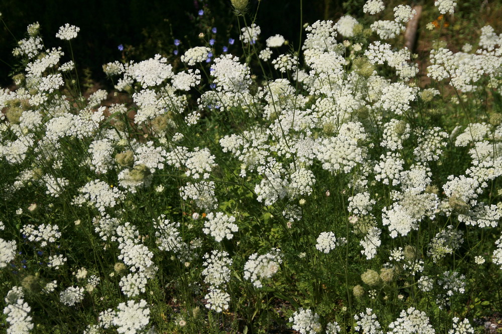 Parsley family fm wild carrot carotte sauvage many umbels of white flowers mightylinksfo