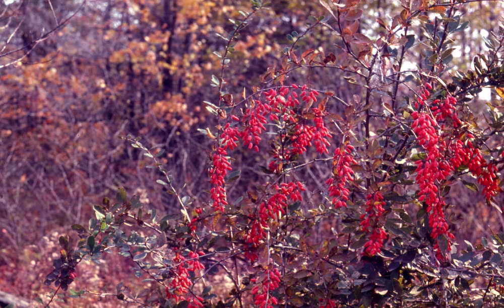 Barberry Name of Flowers