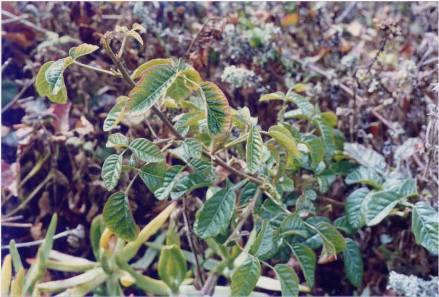 poison oak rash vs poison ivy. what does poison sumac rash